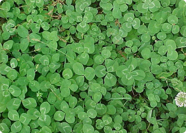Find the Four Leaf Clover